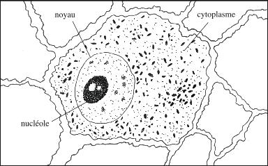 Cellule de tumeur ascitique