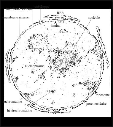 Noyau d'une cellule en interphase, observé au microscope électronique