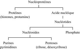 Hydrolyse chimique des nucléoprotéines