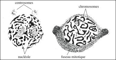 Condensation de la chromatine en chromosomes au moment de la division cellulaire