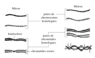 meiose ovocyte 1 et 2