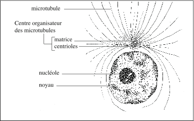 Cellule en interphase